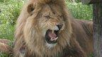 Lion at West Midland Safari Park