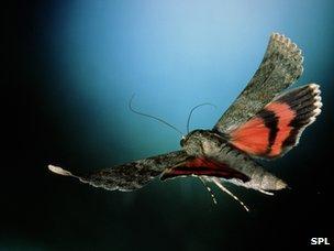 Moth in flight (c) SPL