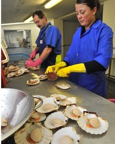 Scallop processing