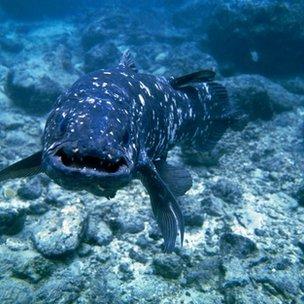 [Image: _67070809_z6050661-coelacanth_fish-spl.jpg]
