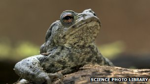 A common toad.