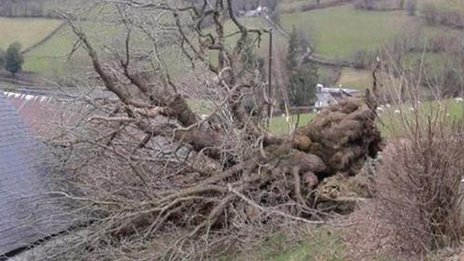 The fallen Pontfadog Oak