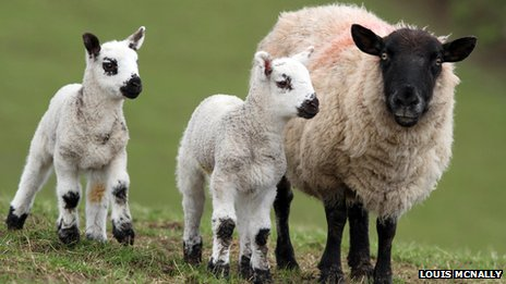 Two lambs and a ewe - by Louis McNally