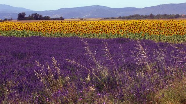 Lavender and sunflowers in the south of France