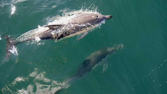 Dolphins in the Haurika Gulf near Auckland