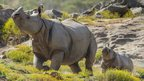 One-horned rhinos Sundari and Shomili at the San Diego Zoo in California (23 April 2013)