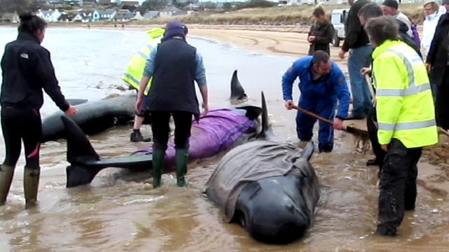 Whales being rescued