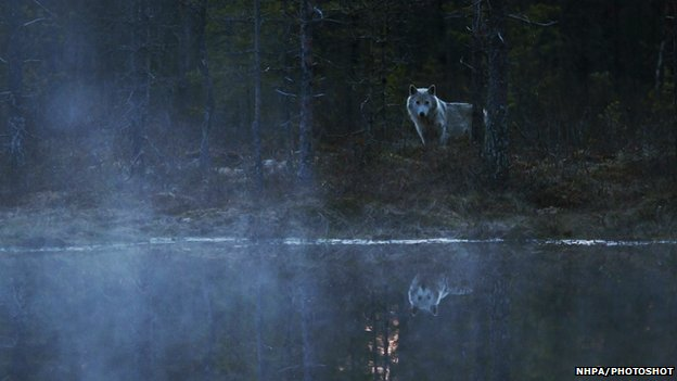 A grey wolf (Canis lupus) in Finland
