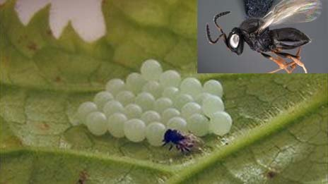 A Trissolcus wasp in closeup (inset) and attacking stink bug eggs laid on a leaf