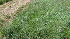 Grass plot of hybrid grass (Image: Kit Macleod)