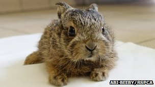Leveret (baby hare) in rehabilitation - Abi Beeby/RSPCA
