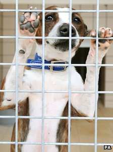 Rescued terrier at an RSPCA centre