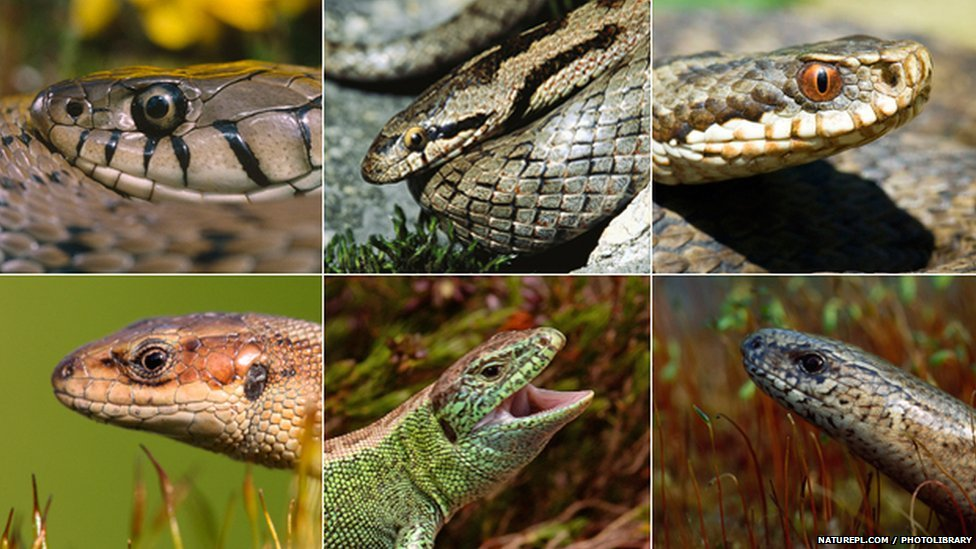 UK's native reptiles