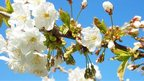 Close up of white blossom with blue sky behind.