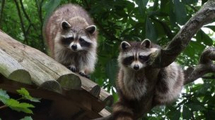 Missing raccoons Turpin and Bandit