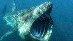 Basking shark filter feeding with mouth open