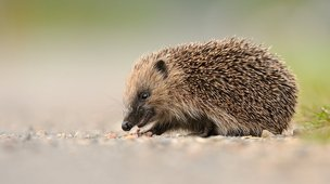 Hedgehog: Fergus Gill/scottishnaturephotography.com