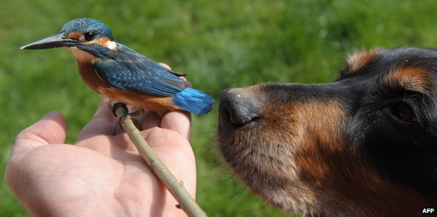 Kingfisher and dog