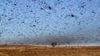 A swarm of the Red Locusts in south west Madagascar