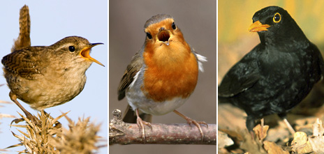 Composite image featuring, from left: a wren, robin and blackbird
