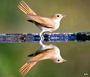 A nightingale reflected on water