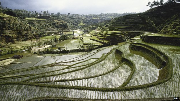 Terraced rice field, Indonesia