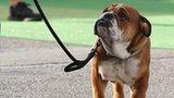 Roscoe the dog