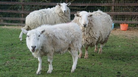 Sheep at Brinsley Animal Rescue