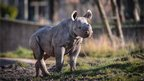 Baby rhino at Chester Zoo