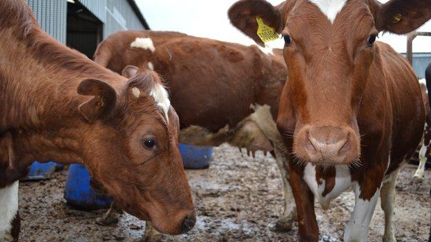 Dunlop cows