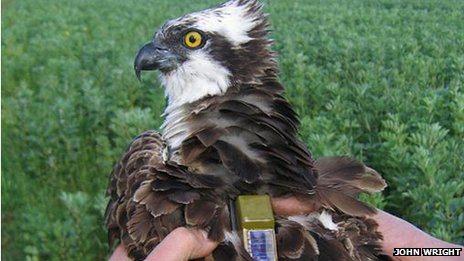 An osprey wearing a GPS tracker.
