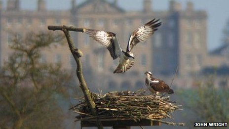Two ospreys in their nest.