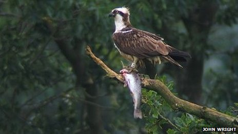 An osprey with a fish.