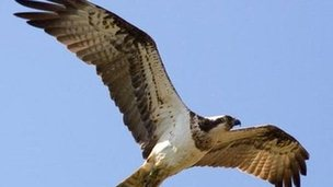An osprey flying above Rutland Water.