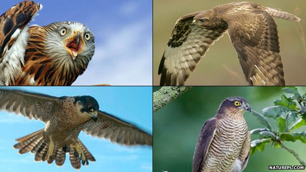 UK birds of prey