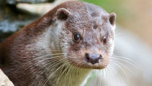Otter Image: SNH