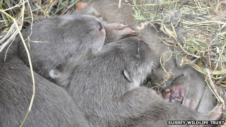 Otters breed in Surrey 'for first time in 40 years'