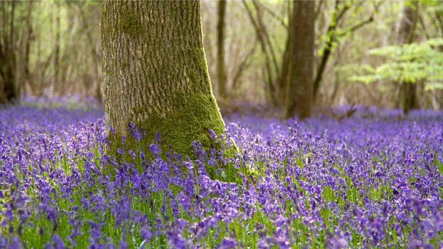 Bluebell woodland (c) Mike Boss