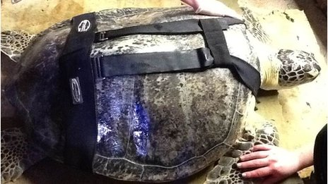 Ali the turtle in a specially designed dive belt