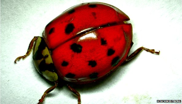 Ladybird