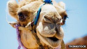 A camel's head