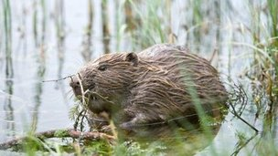 Beaver in water