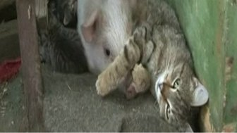 Cat with adopted piglet