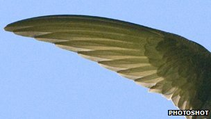 Swift wing