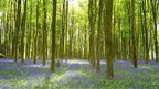 Sun shining through trees, on to a bed of bluebells.