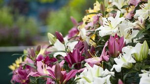 Lilies displayed at Chelsea Flower Show&#039;s press day