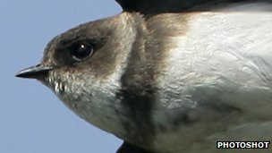 Sand martin breast band