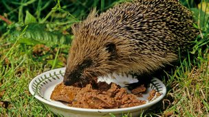 Hedgehog eating from a dish