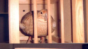 Grey Franklin bird in wooden cage.