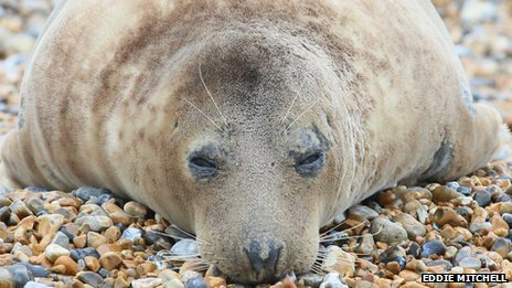 Grey seal on Seaford beach